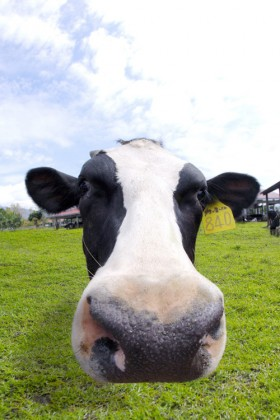 The cute cows expressions HD picture