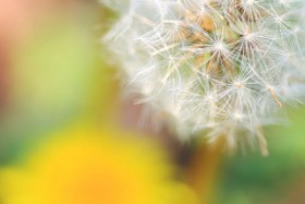 The dandelion HD Pictures