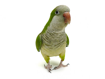 White parrot picture material  3