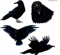 Realistic drawing ravens vector diagram
