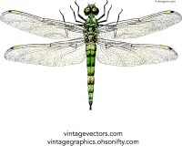 Realistic painting dragonfly vector material