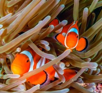 Clownfish HD pictures