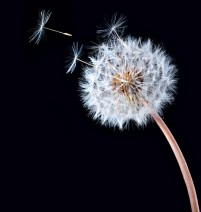 Black background dandelion HD pictures
