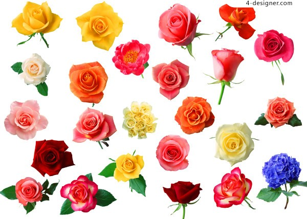 Kinds of roses HD pictures