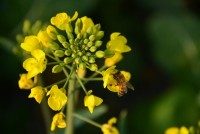 Bees on canola flower