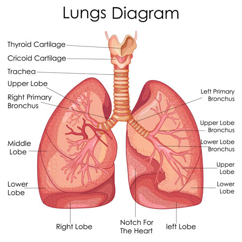 Pulmonary anatomy